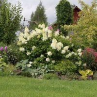 Puķu dobe ar ziedošu hortenziju vasarnīcā