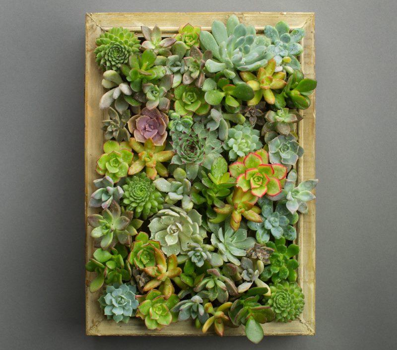 Attēls no sukulentu ģimenes dzīviem augiem istabas dekorēšanai