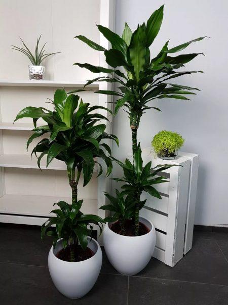 Dracaena est une plante assez grande. Il est préférable de l'utiliser dans les grandes cuisines.