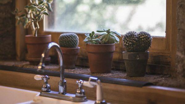 La raison pour laquelle cette plante épineuse est si attrayante n'est pas claire, mais c'est un invité fréquent dans la maison, en particulier dans la cuisine ensoleillée.