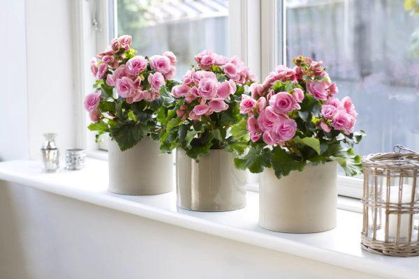 Kalanchoe est une très belle plante. Prenez bien soin de lui et il vous remerciera de sa floraison fréquente.