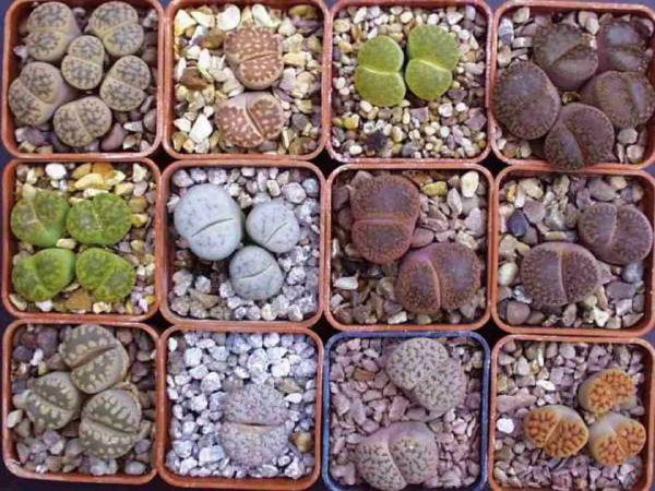 Les Lithops sont des plantes succulentes, leur apparence est telle qu'elles sont autrement appelées pierre vivante.