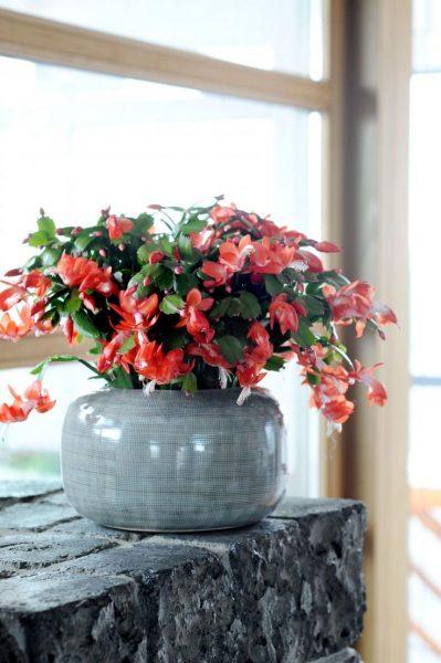 Belle fleur incomparable de la famille des cactus. Pendant la floraison, il est impossible de quitter les yeux